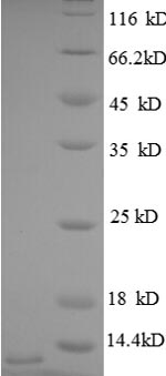 SDS-PAGE separation of QP8640 followed by commassie total protein stain results in a primary band consistent with reported data for CXCL3 / GRO gamma. These data demonstrate Greater than 90% as determined by SDS-PAGE.