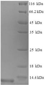SDS-PAGE separation of QP8644 followed by commassie total protein stain results in a primary band consistent with reported data for CCL3 / Mip1a. These data demonstrate Greater than 90% as determined by SDS-PAGE.