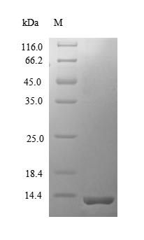 SDS-PAGE separation of QP8648 followed by commassie total protein stain results in a primary band consistent with reported data for CCL12 / MCP-5. These data demonstrate Greater than 90% as determined by SDS-PAGE.