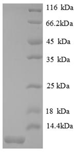SDS-PAGE separation of QP8651 followed by commassie total protein stain results in a primary band consistent with reported data for CXCL2 / MIP-2. These data demonstrate Greater than 90% as determined by SDS-PAGE.