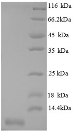 SDS-PAGE separation of QP8652 followed by commassie total protein stain results in a primary band consistent with reported data for CXCL3 / GRO gamma. These data demonstrate Greater than 90% as determined by SDS-PAGE.