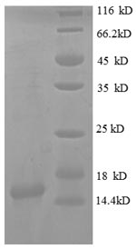SDS-PAGE separation of QP8654 followed by commassie total protein stain results in a primary band consistent with reported data for CXCL9 / MIG / C-X-C motif chemokine 9. These data demonstrate Greater than 90% as determined by SDS-PAGE.