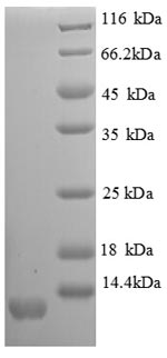 SDS-PAGE separation of QP8656 followed by commassie total protein stain results in a primary band consistent with reported data for I-TAC / CXCL11. These data demonstrate Greater than 90% as determined by SDS-PAGE.
