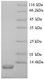 SDS-PAGE separation of QP8657 followed by commassie total protein stain results in a primary band consistent with reported data for CXCL12 / SDF-1. These data demonstrate Greater than 90% as determined by SDS-PAGE.