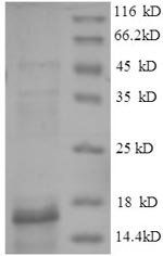 SDS-PAGE separation of QP8661 followed by commassie total protein stain results in a primary band consistent with reported data for CTGF. These data demonstrate Greater than 90% as determined by SDS-PAGE.