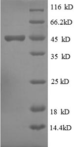 SDS-PAGE separation of QP8673 followed by commassie total protein stain results in a primary band consistent with reported data for Ubiquitin-like protein ISG15. These data demonstrate Greater than 90% as determined by SDS-PAGE.