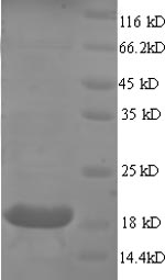 SDS-PAGE separation of QP8680 followed by commassie total protein stain results in a primary band consistent with reported data for Myosin regulatory lc 2