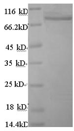 SDS-PAGE separation of QP8682 followed by commassie total protein stain results in a primary band consistent with reported data for ANGPTL4. These data demonstrate Greater than 90% as determined by SDS-PAGE.