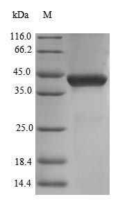 SDS-PAGE separation of QP8683 followed by commassie total protein stain results in a primary band consistent with reported data for Decorin / DCN / SLRR1B. These data demonstrate Greater than 90% as determined by SDS-PAGE.