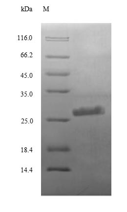 SDS-PAGE separation of QP8695 followed by commassie total protein stain results in a primary band consistent with reported data for Complement C3. These data demonstrate Greater than 90% as determined by SDS-PAGE.