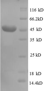 SDS-PAGE separation of QP8696 followed by commassie total protein stain results in a primary band consistent with reported data for CD320. These data demonstrate Greater than 90% as determined by SDS-PAGE.