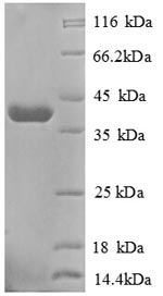 SDS-PAGE separation of QP8697 followed by commassie total protein stain results in a primary band consistent with reported data for GOLM1 / GP73. These data demonstrate Greater than 90% as determined by SDS-PAGE.