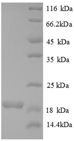 SDS-PAGE separation of QP8701 followed by commassie total protein stain results in a primary band consistent with reported data for Bone morphogenetic protein 6. These data demonstrate Greater than 90% as determined by SDS-PAGE.