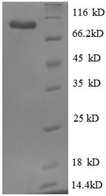SDS-PAGE separation of QP8707 followed by commassie total protein stain results in a primary band consistent with reported data for GRP94 / HSP90B1. These data demonstrate Greater than 90% as determined by SDS-PAGE.