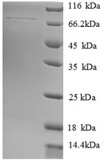 SDS-PAGE separation of QP8708 followed by commassie total protein stain results in a primary band consistent with reported data for Heat shock 70 kDa protein 13. These data demonstrate Greater than 90% as determined by SDS-PAGE.