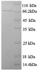 SDS-PAGE separation of QP8714 followed by commassie total protein stain results in a primary band consistent with reported data for Estrogen Receptor 1. These data demonstrate Greater than 90% as determined by SDS-PAGE.