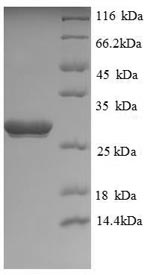 SDS-PAGE separation of QP8722 followed by commassie total protein stain results in a primary band consistent with reported data for UCHL1 / PGP9.5. These data demonstrate Greater than 90% as determined by SDS-PAGE.