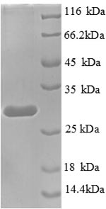 SDS-PAGE separation of QP8725 followed by commassie total protein stain results in a primary band consistent with reported data for Transcription termination factor 1. These data demonstrate Greater than 90% as determined by SDS-PAGE.
