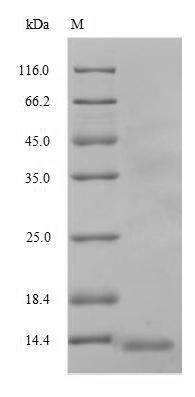 SDS-PAGE separation of QP8727 followed by commassie total protein stain results in a primary band consistent with reported data for Multidrug resistance protein 1. These data demonstrate Greater than 90% as determined by SDS-PAGE.