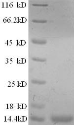 SDS-PAGE separation of QP8733 followed by commassie total protein stain results in a primary band consistent with reported data for Prostate stem cell antigen. These data demonstrate Greater than 90% as determined by SDS-PAGE.