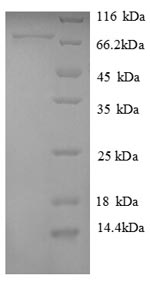SDS-PAGE separation of QP8743 followed by commassie total protein stain results in a primary band consistent with reported data for Plasma alpha-L-fucosidase. These data demonstrate Greater than 90% as determined by SDS-PAGE.