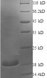 SDS-PAGE separation of QP8747 followed by commassie total protein stain results in a primary band consistent with reported data for bFGF / FGF2. These data demonstrate Greater than 90% as determined by SDS-PAGE.