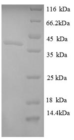 SDS-PAGE separation of QP8748 followed by commassie total protein stain results in a primary band consistent with reported data for Ornithine carbamoyltransferase chain F. These data demonstrate Greater than 90% as determined by SDS-PAGE.