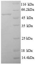 SDS-PAGE separation of QP8751 followed by commassie total protein stain results in a primary band consistent with reported data for B7-H4 / B7S1 / B7x. These data demonstrate Greater than 90% as determined by SDS-PAGE.