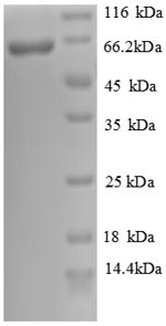 SDS-PAGE separation of QP8756 followed by commassie total protein stain results in a primary band consistent with reported data for Cadherin-12. These data demonstrate Greater than 90% as determined by SDS-PAGE.