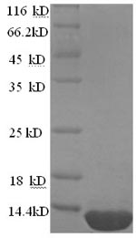 SDS-PAGE separation of QP8759 followed by commassie total protein stain results in a primary band consistent with reported data for ESAT-6-like protein EsxB. These data demonstrate Greater than 90% as determined by SDS-PAGE.