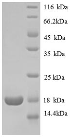 SDS-PAGE separation of QP8771 followed by commassie total protein stain results in a primary band consistent with reported data for 60S ribosomal protein L31. These data demonstrate Greater than 90% as determined by SDS-PAGE.