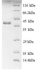SDS-PAGE separation of QP8786 followed by commassie total protein stain results in a primary band consistent with reported data for AGER / RAGE. These data demonstrate Greater than 90% as determined by SDS-PAGE.
