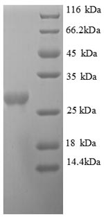 SDS-PAGE separation of QP8793 followed by commassie total protein stain results in a primary band consistent with reported data for Orotidine 5'-phosphate decarboxylase. These data demonstrate Greater than 90% as determined by SDS-PAGE.