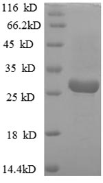 SDS-PAGE separation of QP8797 followed by commassie total protein stain results in a primary band consistent with reported data for Vacuolating cytotoxin autotransporter. These data demonstrate Greater than 90% as determined by SDS-PAGE.