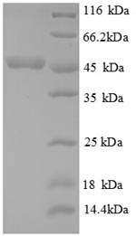 SDS-PAGE separation of QP8801 followed by commassie total protein stain results in a primary band consistent with reported data for Cystathionine beta-lyase MetC. These data demonstrate Greater than 90% as determined by SDS-PAGE.