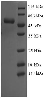 SDS-PAGE separation of QP8803 followed by commassie total protein stain results in a primary band consistent with reported data for Cystathionine gamma-lyase. These data demonstrate Greater than 90% as determined by SDS-PAGE.