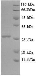 SDS-PAGE separation of QP8807 followed by commassie total protein stain results in a primary band consistent with reported data for ORM2. These data demonstrate Greater than 90% as determined by SDS-PAGE.