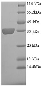 SDS-PAGE separation of QP8808 followed by commassie total protein stain results in a primary band consistent with reported data for Ceruloplasmin. These data demonstrate Greater than 90% as determined by SDS-PAGE.