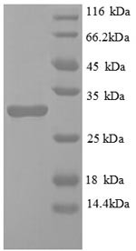 SDS-PAGE separation of QP8813 followed by commassie total protein stain results in a primary band consistent with reported data for Egl nine homolog 3. These data demonstrate Greater than 90% as determined by SDS-PAGE.