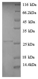 SDS-PAGE separation of QP8815 followed by commassie total protein stain results in a primary band consistent with reported data for HLA-DPA1. These data demonstrate Greater than 90% as determined by SDS-PAGE.