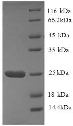 SDS-PAGE separation of QP8816 followed by commassie total protein stain results in a primary band consistent with reported data for HLA-DQA2. These data demonstrate Greater than 90% as determined by SDS-PAGE.