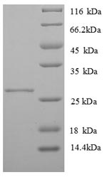 SDS-PAGE separation of QP8818 followed by commassie total protein stain results in a primary band consistent with reported data for MHC class II antigen. These data demonstrate Greater than 90% as determined by SDS-PAGE.