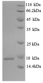 SDS-PAGE separation of QP8820 followed by commassie total protein stain results in a primary band consistent with reported data for Immunogenic protein MPT63. These data demonstrate Greater than 90% as determined by SDS-PAGE.