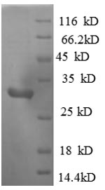 SDS-PAGE separation of QP8830 followed by commassie total protein stain results in a primary band consistent with reported data for MAP3K1. These data demonstrate Greater than 90% as determined by SDS-PAGE.
