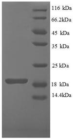 SDS-PAGE separation of QP8841 followed by commassie total protein stain results in a primary band consistent with reported data for IFNG / Interferon Gamma Protein. These data demonstrate Greater than 90% as determined by SDS-PAGE.
