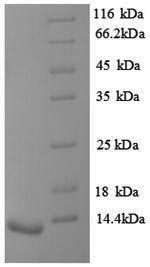 SDS-PAGE separation of QP8844 followed by commassie total protein stain results in a primary band consistent with reported data for Vasopressin V1b receptor. These data demonstrate Greater than 90% as determined by SDS-PAGE.