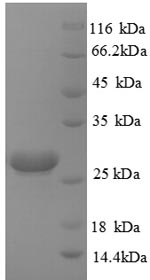 SDS-PAGE separation of QP8846 followed by commassie total protein stain results in a primary band consistent with reported data for HPRT1. These data demonstrate Greater than 90% as determined by SDS-PAGE.