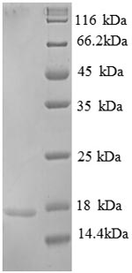 SDS-PAGE separation of QP8853 followed by commassie total protein stain results in a primary band consistent with reported data for Replication protein A 14 kDa subunit. These data demonstrate Greater than 90% as determined by SDS-PAGE.