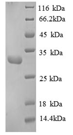 SDS-PAGE separation of QP8854 followed by commassie total protein stain results in a primary band consistent with reported data for Replication protein A 30 kDa subunit. These data demonstrate Greater than 90% as determined by SDS-PAGE.
