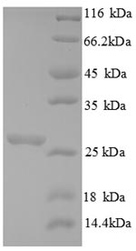 SDS-PAGE separation of QP8856 followed by commassie total protein stain results in a primary band consistent with reported data for Chitin synthase 1. These data demonstrate Greater than 90% as determined by SDS-PAGE.